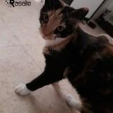 Rosalie, Chaton européen à adopter