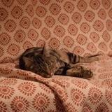 Nefi, Chat européen à adopter