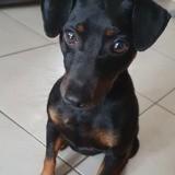 Vicky, Chien pinscher à adopter