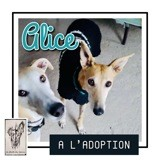 Alice, Chien lévrier espagnol à adopter