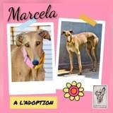 Marcela, Chien lévrier espagnol à adopter
