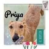 Priya, Chien lévrier espagnol à adopter