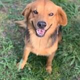 Chabin, chien mâle croisé créole, Chien à adopter