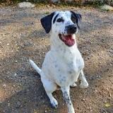 Pongo, Chien dalmatien à adopter