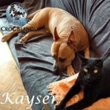 Kayser, Chien american staffordshire terrier à adopter