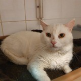 Picsou, Chat européen à adopter