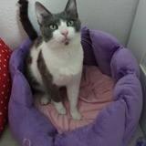 Pamela, Chat européen à adopter