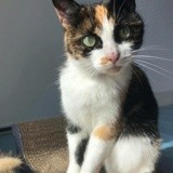 Oysha, Chat européen à adopter