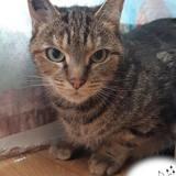 Feline, Chat européen à adopter