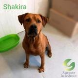 Shakira, Chien american staffordshire terrier à adopter