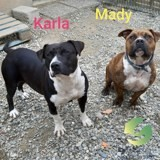 Mady et karla ensemble, Chien american staffordshire terrier à adopter