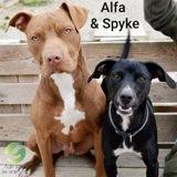 Alfa et spyke, Chien dogue de bordeaux à adopter