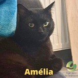 Amelia, Chat à adopter