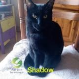 Shadow, Chat à adopter