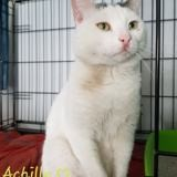 Achille, Chat à adopter