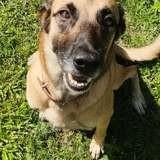 Pika, belle chienne croisée malinois, Chien à adopter