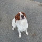 Nougat, Chien Épagneul breton à adopter