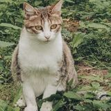 Cacahuete, Chat européen à adopter