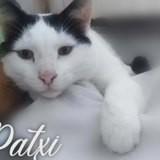 Patxi, Chat européen à adopter