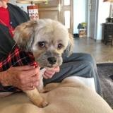 Fabril, Chien lhassa apso à adopter