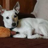 Edene, Chien jack russell terrier à adopter