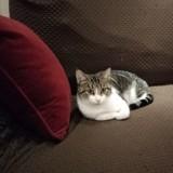 Pepite, Chat européen à adopter