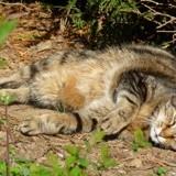 Pompon, Chat européen à adopter