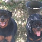 Paho et mulan, Chien rottweiler à adopter