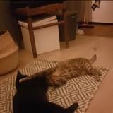 Rizzo la noire, et sa sœur romy la tigree, Chaton à adopter