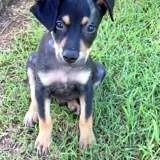 Zuki, chiot mâle croisé créole, Chiot à adopter