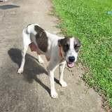 Artémis, jeune chienne croisée créole, Chien à adopter