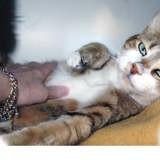 Randy, Chat européen à adopter
