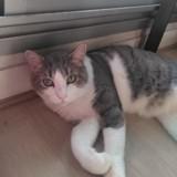Alfred chat tigré/chant de 5 ans, Chat à adopter