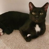 Ramses, Chat à adopter