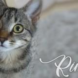 Rina, Chaton européen à adopter