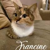 Francine, Chaton européen à adopter