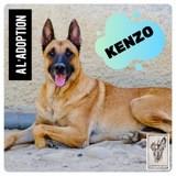 Kenzo, Chien berger allemand à adopter