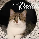 Raclette, Chaton européen à adopter