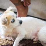 Loo, petit chien aveugle et sourd, 13 ans, croisé bichon, Chien à adopter