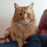 Karamel, Chat européen à adopter