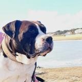 Littman, Chien american staffordshire terrier à adopter