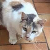 Sybel, Chat européen à adopter