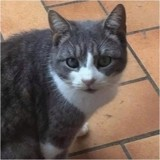 Suzy, Chat européen à adopter