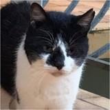 Salambo, Chat européen à adopter