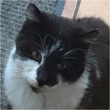 Salomon, Chat européen à adopter