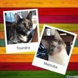 Toundra et matouba, Chaton à adopter