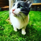 Pluton, Chat européen à adopter