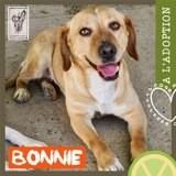 Bonnie, Chien podenco canario à adopter