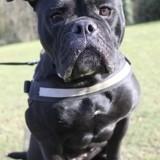 Tika, Chien bouledogue français à adopter