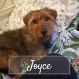 Joyce, Chien à adopter